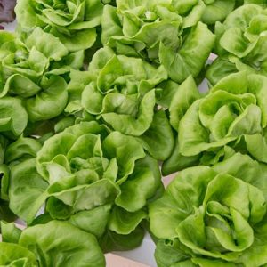Lettuce – Monthly Plan
