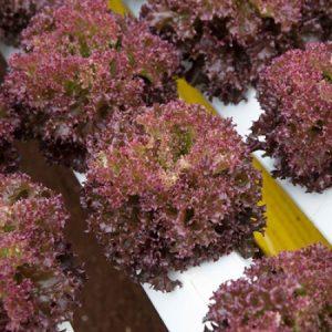 Lettuce – Red Lollo Rosso